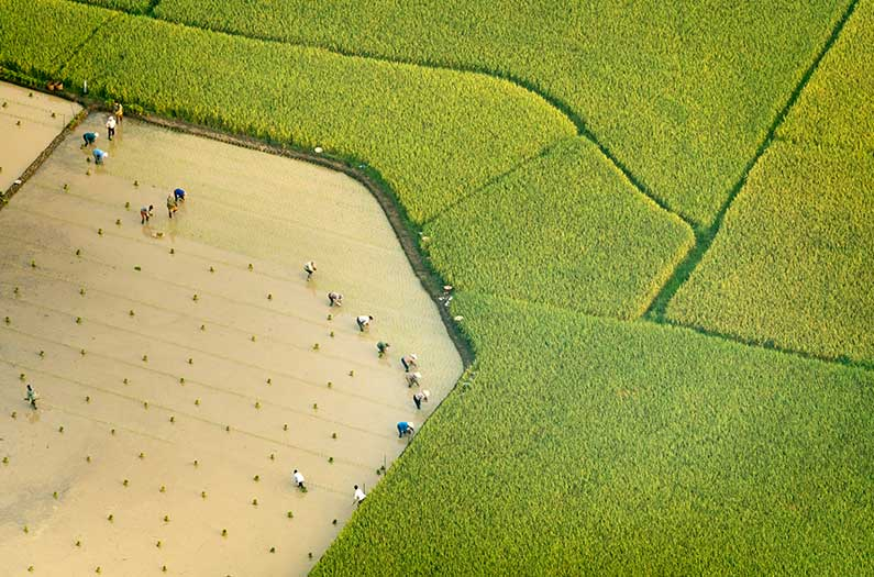 Injecting bacteria into rice paddies could reduce methane by over 90%